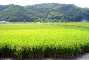Beautiful Fukushima rice