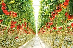 生鮮トマト大規模施設栽培